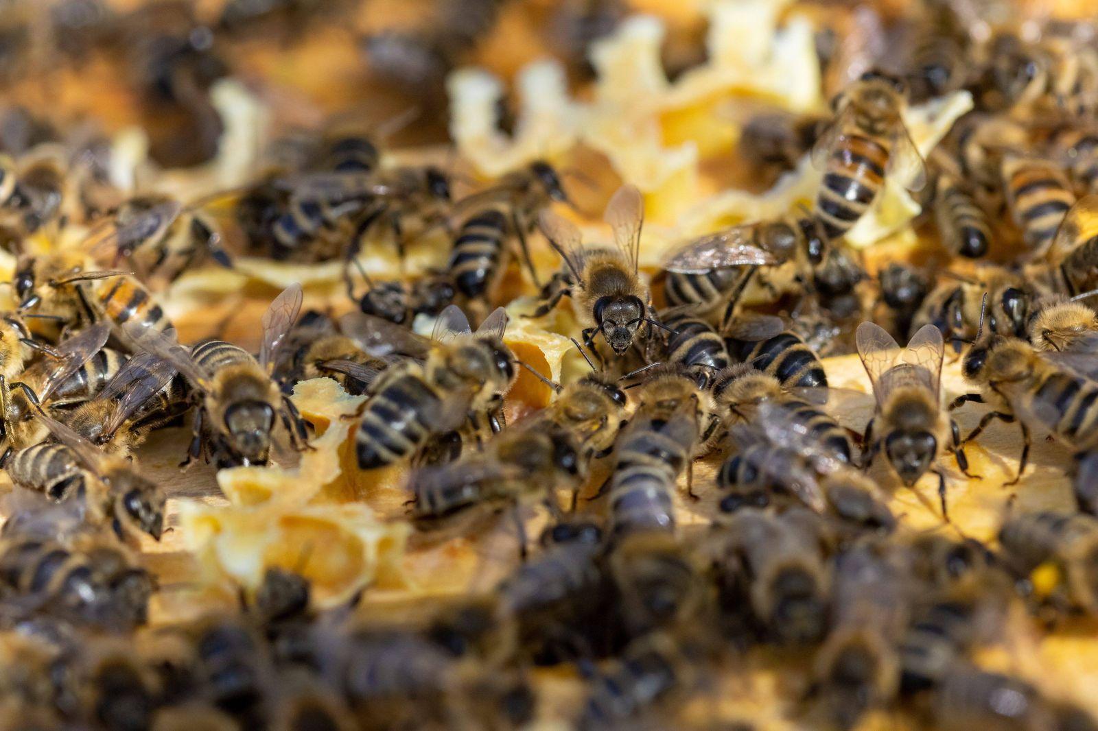 Wiesbaden, 22.04.2021, Honigbienen, Honigbienen auf dem Holzrahmen an dem die Honigbienen ihre Waben bauen Wiesbaden Hes