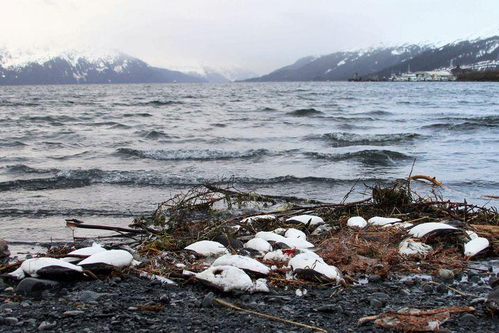Angespülte tote Trottellummen in Alaska: Die Vögel müssen täglich ihr halbes Körpergewicht in Fisch fressen - fehlt die Nahrung, dann sterben sie