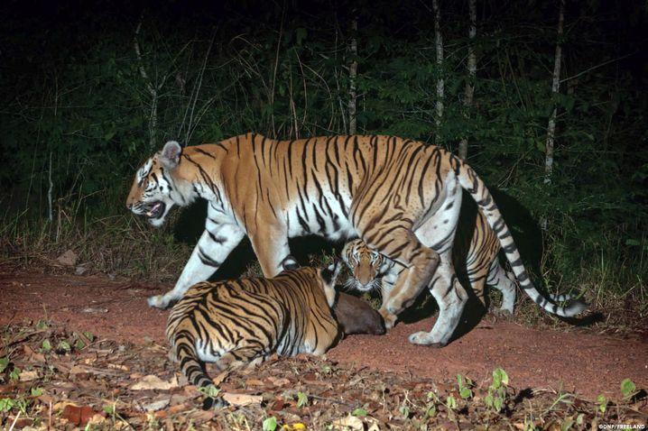 Zwei kleine Indonesische Tiger neben ihrer Mutter