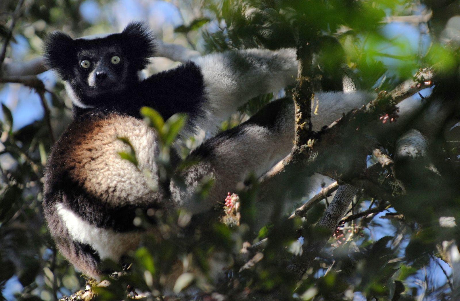 Indri Madagaskar