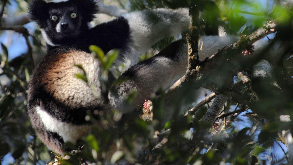 Indri auf Madagaskar: Vom Aussterben bedroht