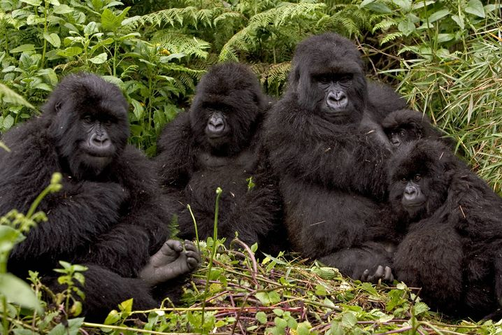 Freilebende Gorillas in Ruanda