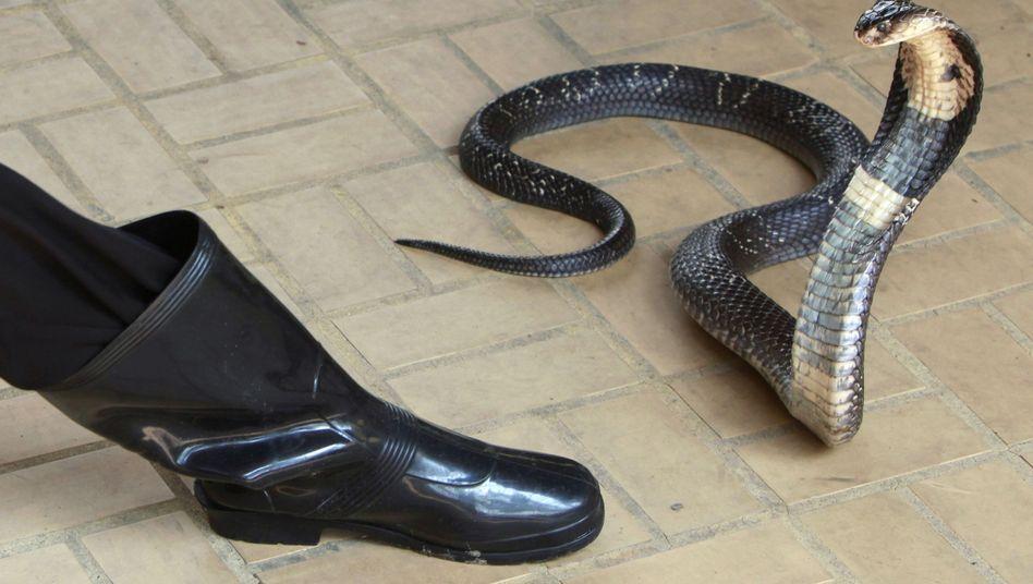 Ausgewachsene Kobra (auf einer Zuchteinrichtung in Thailand, Archiv): Schlangenbiss als Todesursache