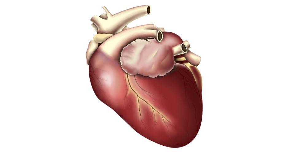 Das Herz, der Schließmuskel - oder wie war das noch mal?