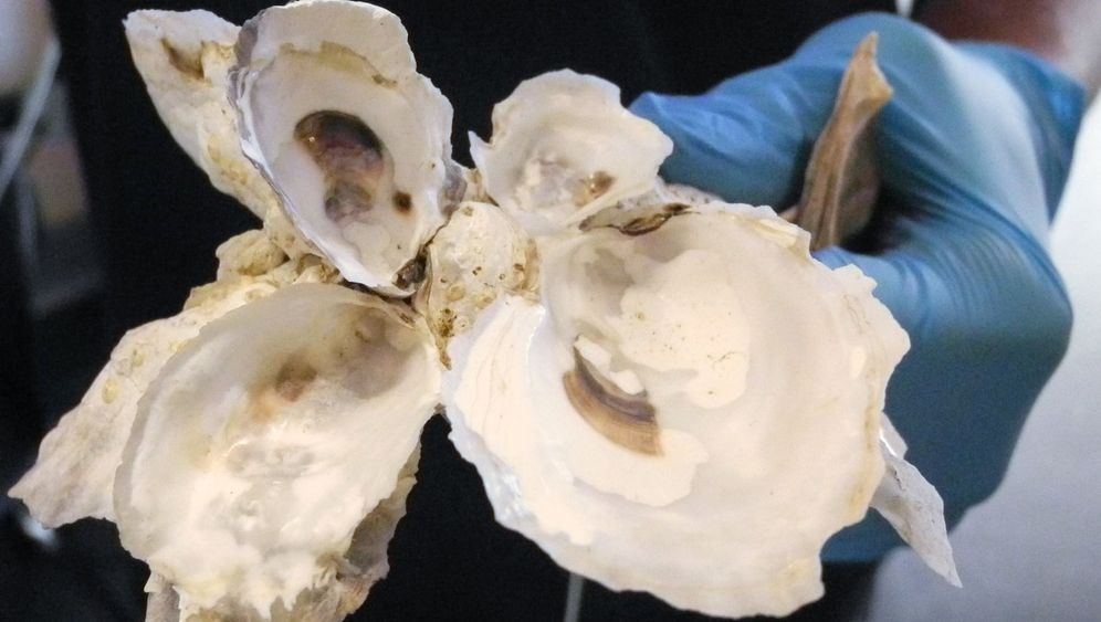 Austern für New York: Nicht essbar, aber nützlich