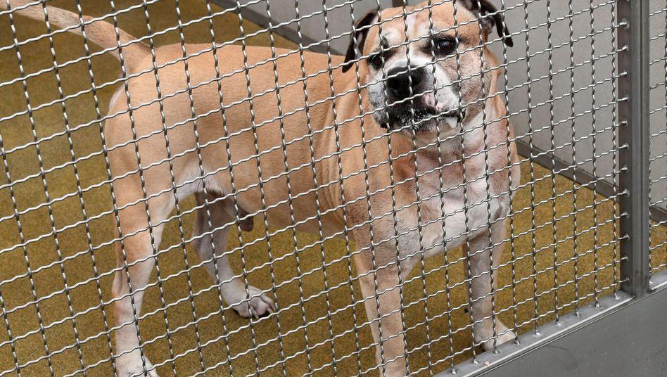 Dieser Staffordshire-Terrier-Mischling soll seine Besitzer getötet haben
