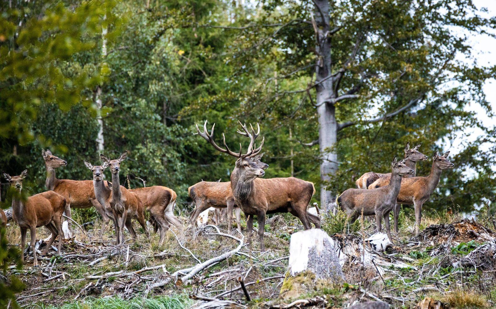 Rotwild im Taunus 28.09.2020, Schmitten (Hessen): Ein Hirsch und mehrere Hirschkühe stehen am Abend im Wald unterhalb de