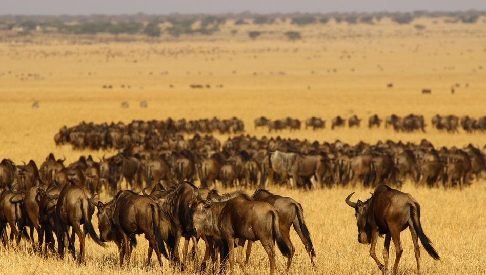 Eine Herde Gnus in der Serengeti: Menschliche Siedlungen bedrohen das Ökosystem