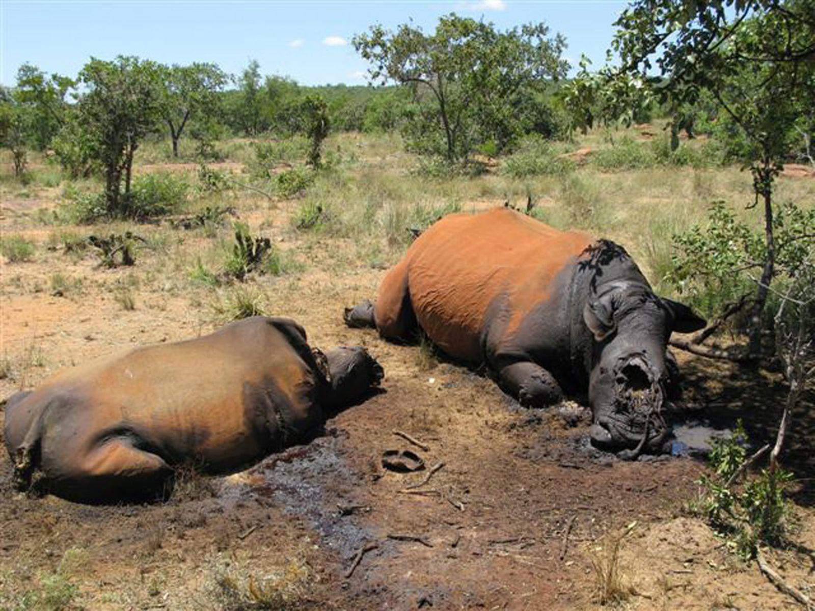 Von Wilderern getötete Nashörner in Südafrika