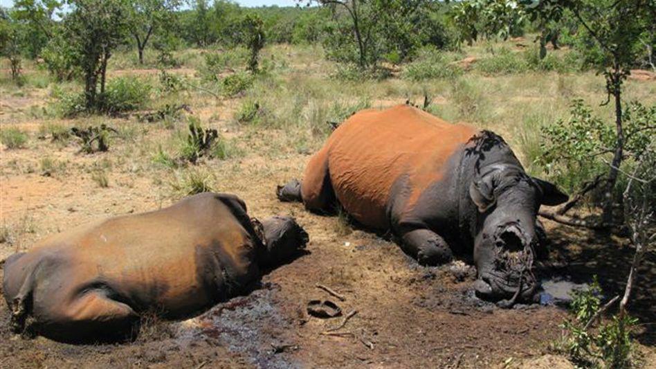 Von Wilderern getötete Nashörner am 10.02.2010 in Südafrika