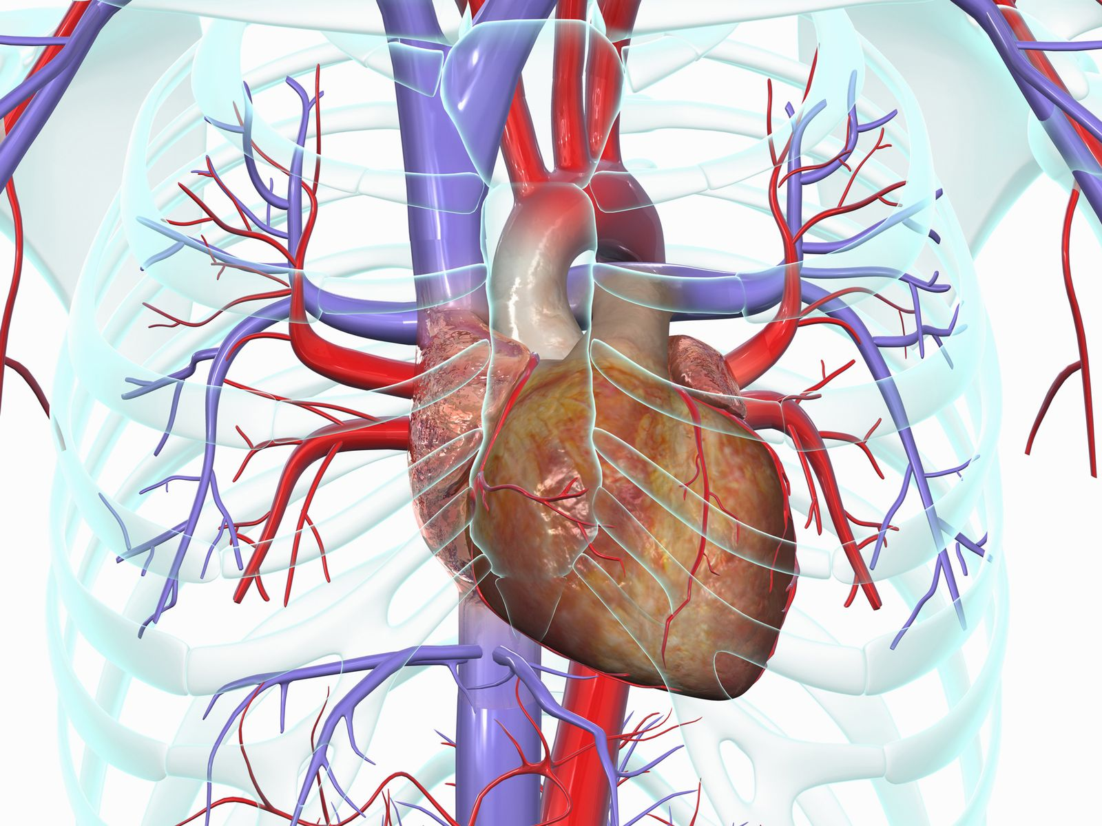 NICHT MEHR VERWENDEN! - Illustration / Menschliches Herz