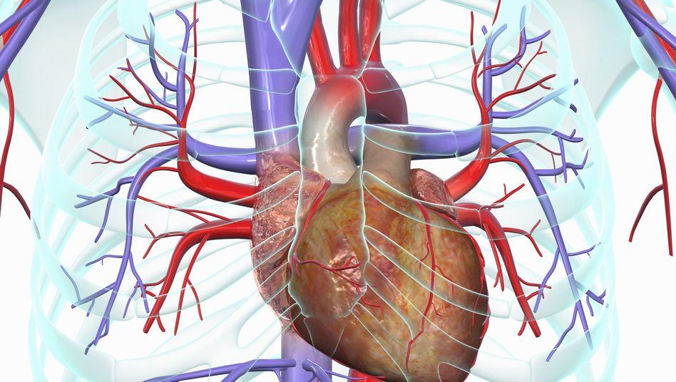 Herz-Kreislauf-System (Illustration)