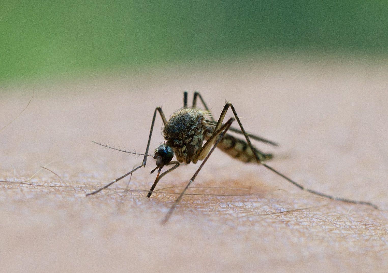 Mücke / Mückenstich / Erbgut