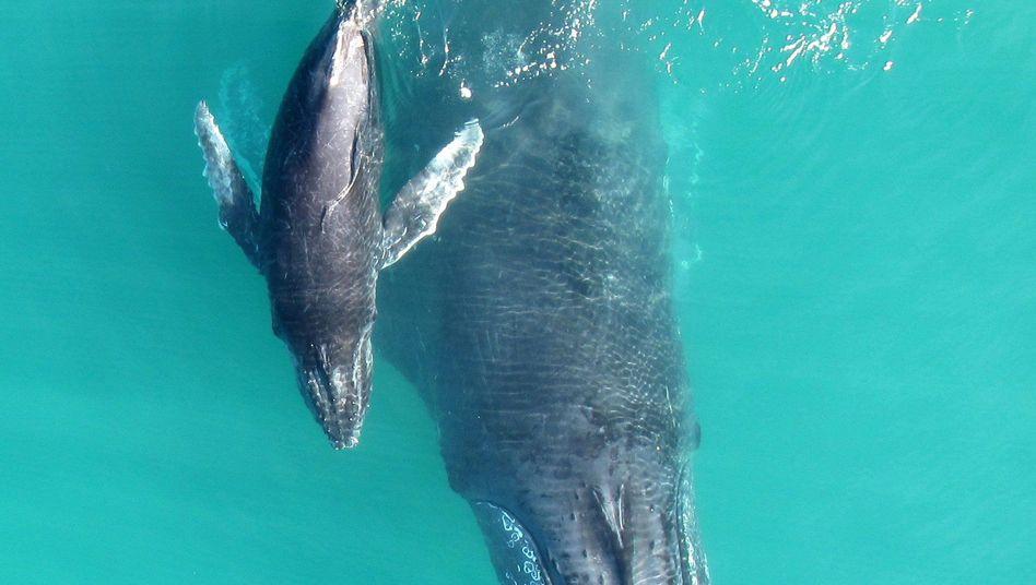 Buckelwaljunges mit seiner Mutter im Exmouth-Golf im Nordwesten Australiens