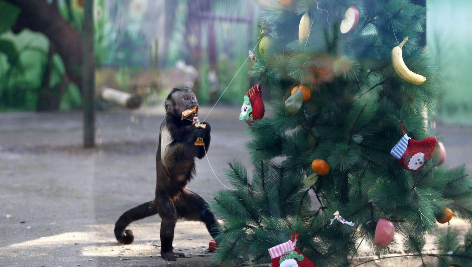 Affe bei Bescherung