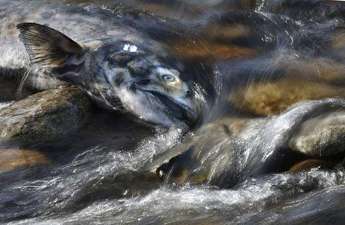 Toter Königslachs: Bestände an der Westküste Nordamerikas schrumpfen dramatisch