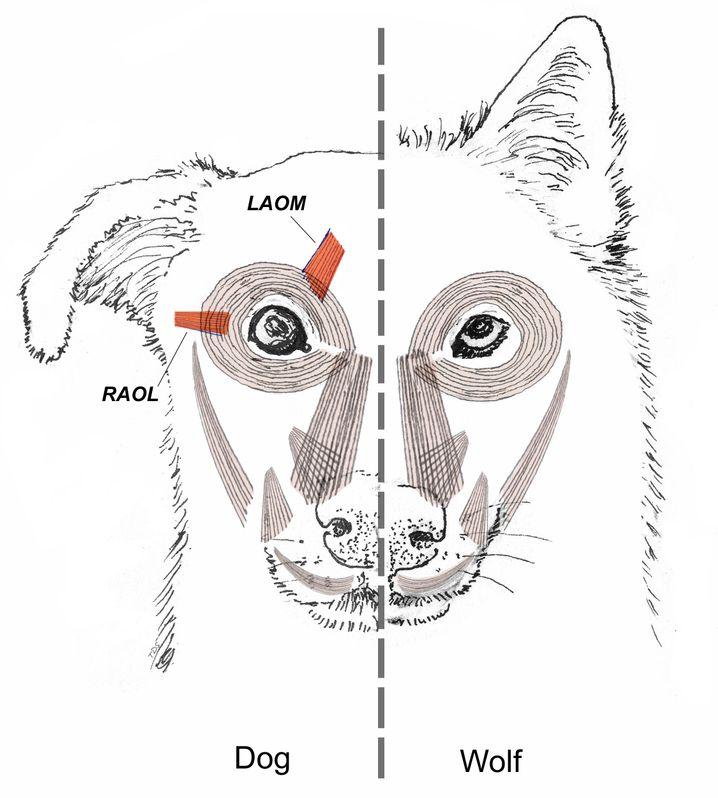 Unterschiede in der Gesichtsmuskulatur von Hund (links) und Wolf