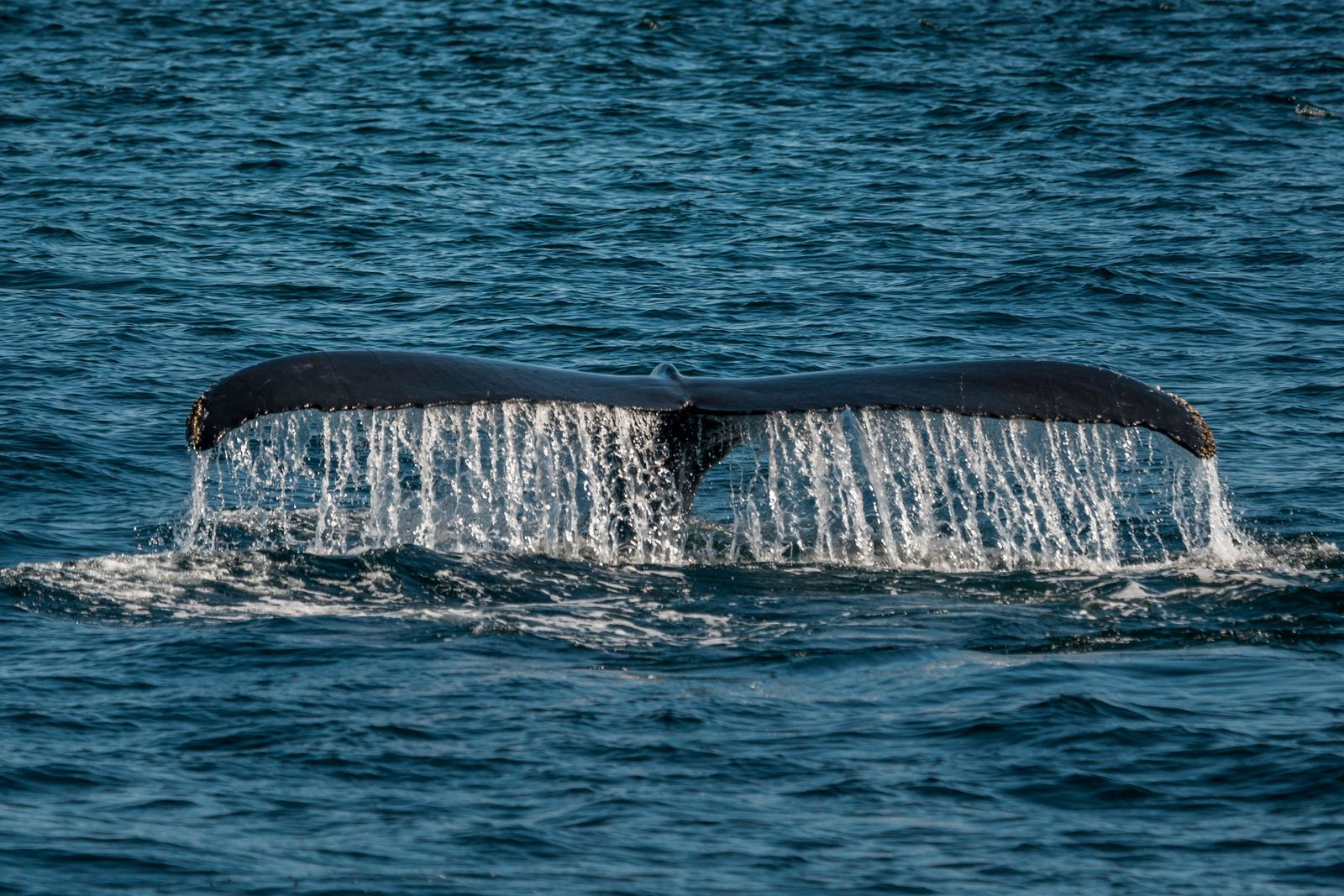 An adult humpback whale dives beneath the surface in the waters of Cape Cod, along the eastern coast of the United State