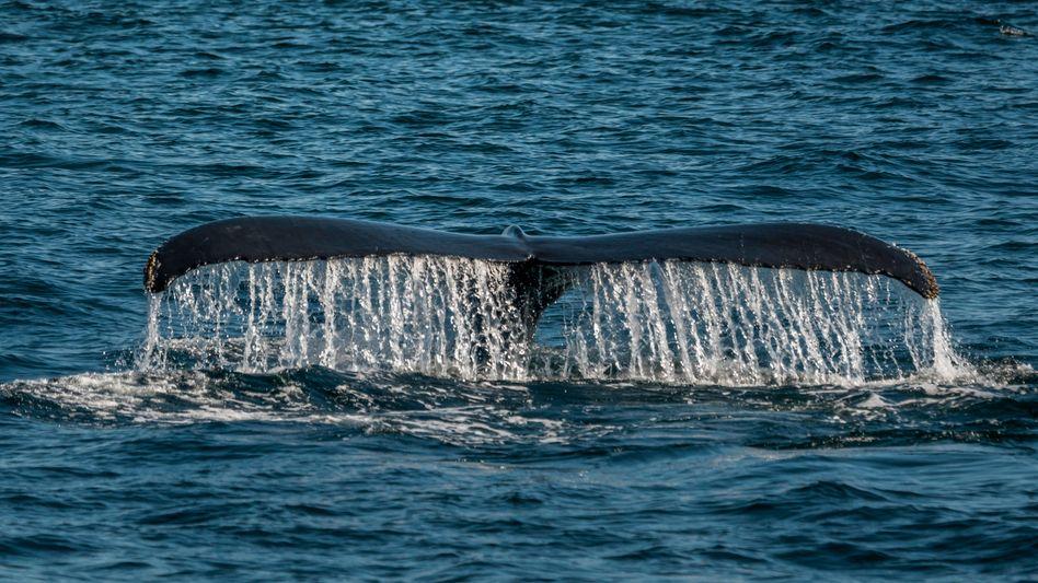 Buckelwal vor der Ostküste der USA im Nordatlantik: Der Schutz der Natur steht auf der Prioritätenliste des US-Präsidenten ganz weit unten