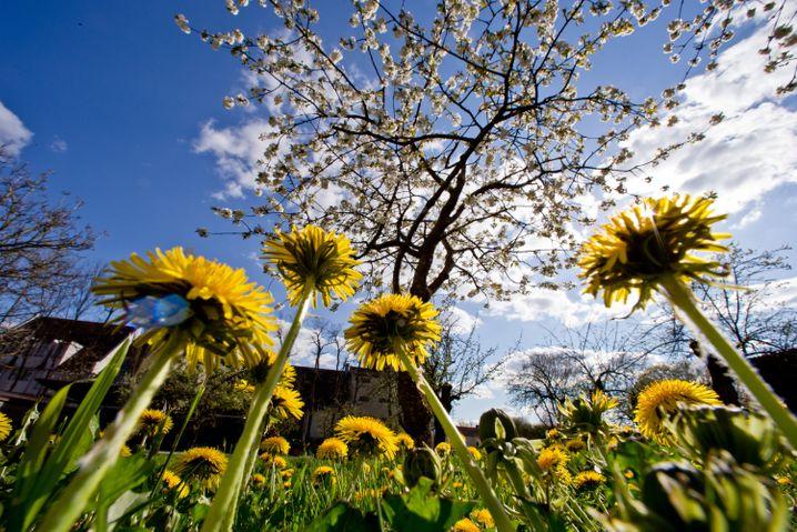 Löwenzahn in Blüte: Gerade richtig für einen Frühlingssalat