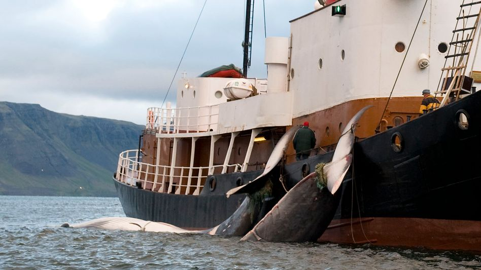 Erlegte Finnwale vor Island: Ein Unternehmer hofft auf das große Geschäft