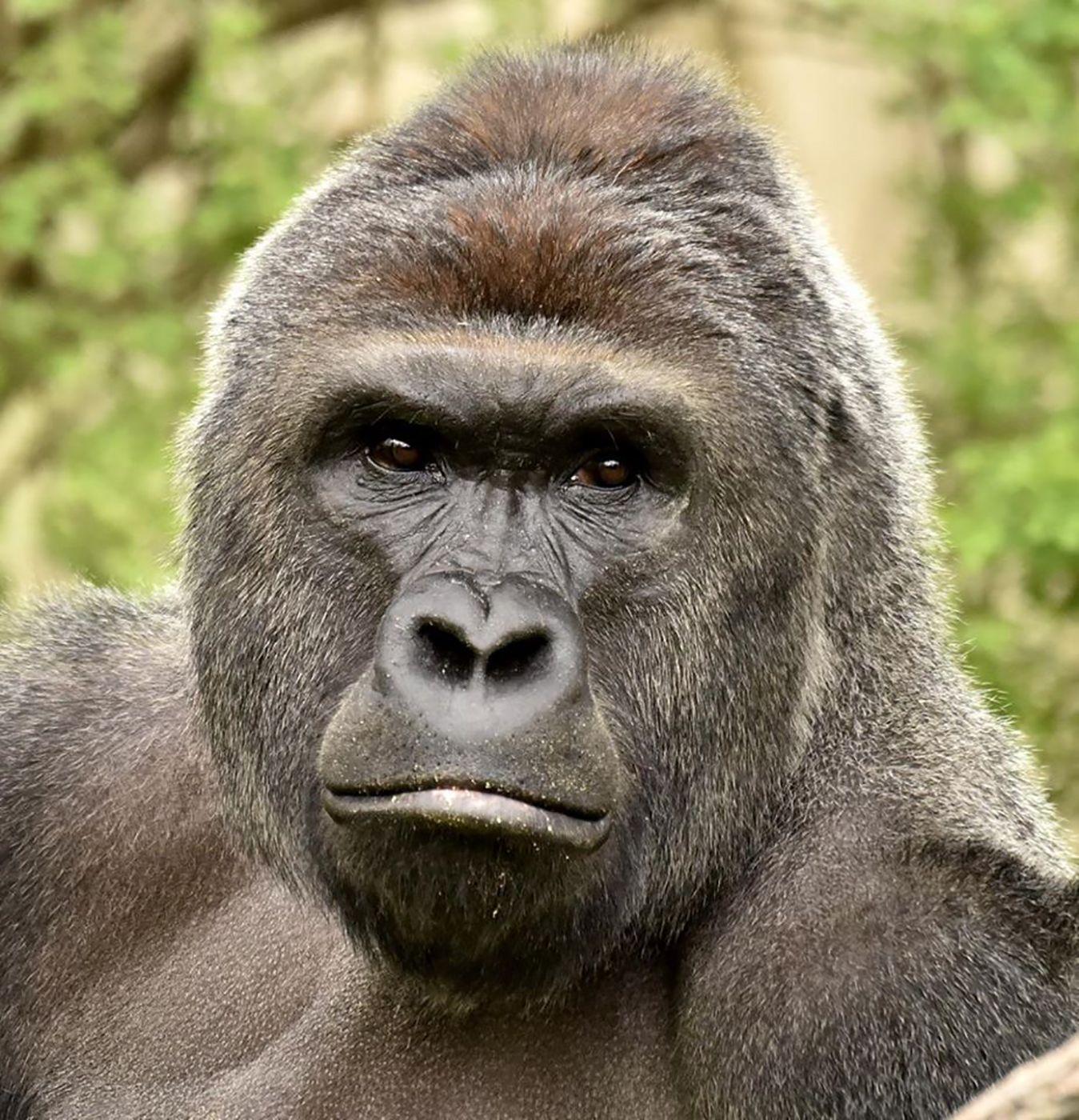 EINMALIGE VERWENDUNG Gorilla