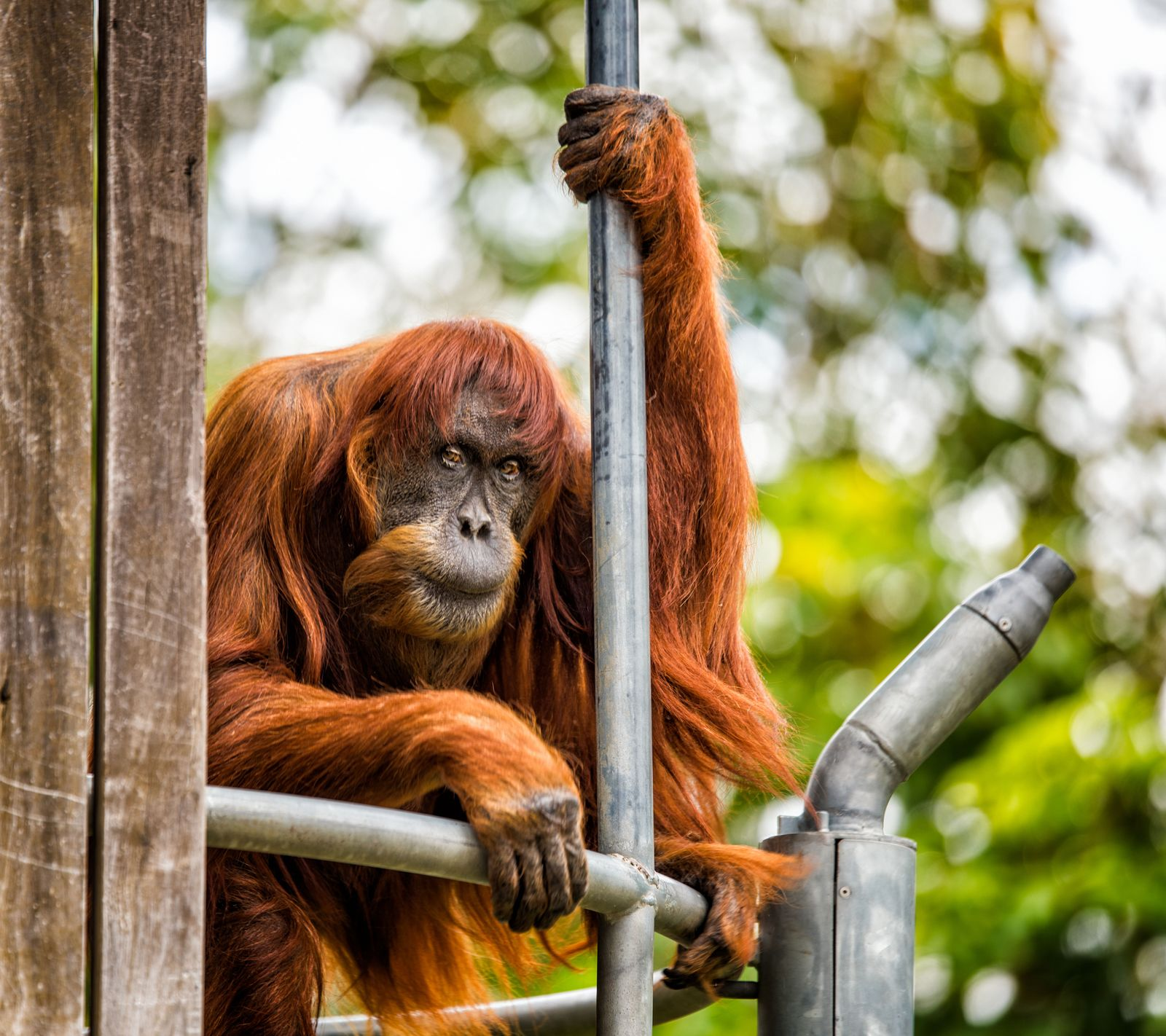 Puan / Zoo Perth