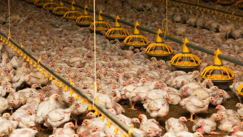 Geflügelmast im brandenburgischen Storkow: An zehn von 39 Tagen bekommen die Tiere Antibiotika - oft auch präventiv