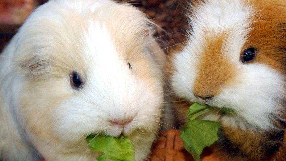 Serene companionship: guinea pig chums sharing a lettuce leaf.