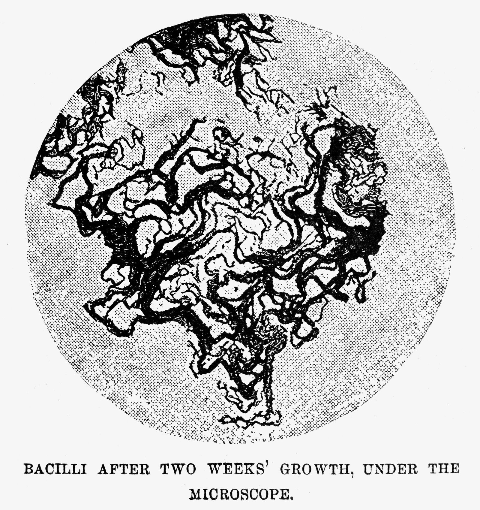 ROBERT KOCH: BACILLI. Engraving after a drawing by Robert Koch of tuberculosis bacilli, after two weeks growth under a culture, as seen under the microscope.