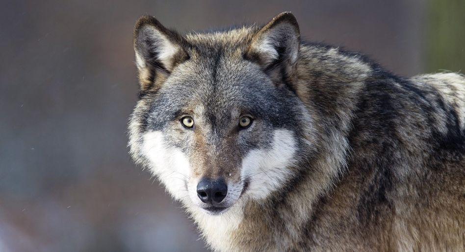 Hundevorfahr Wolf