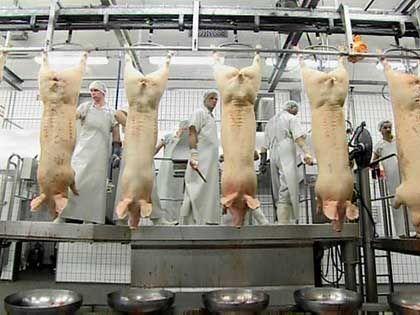 Schlachthof Rheda Wiedenbrück: Schweine werden in Europas größtem Schlachthof zerlegt