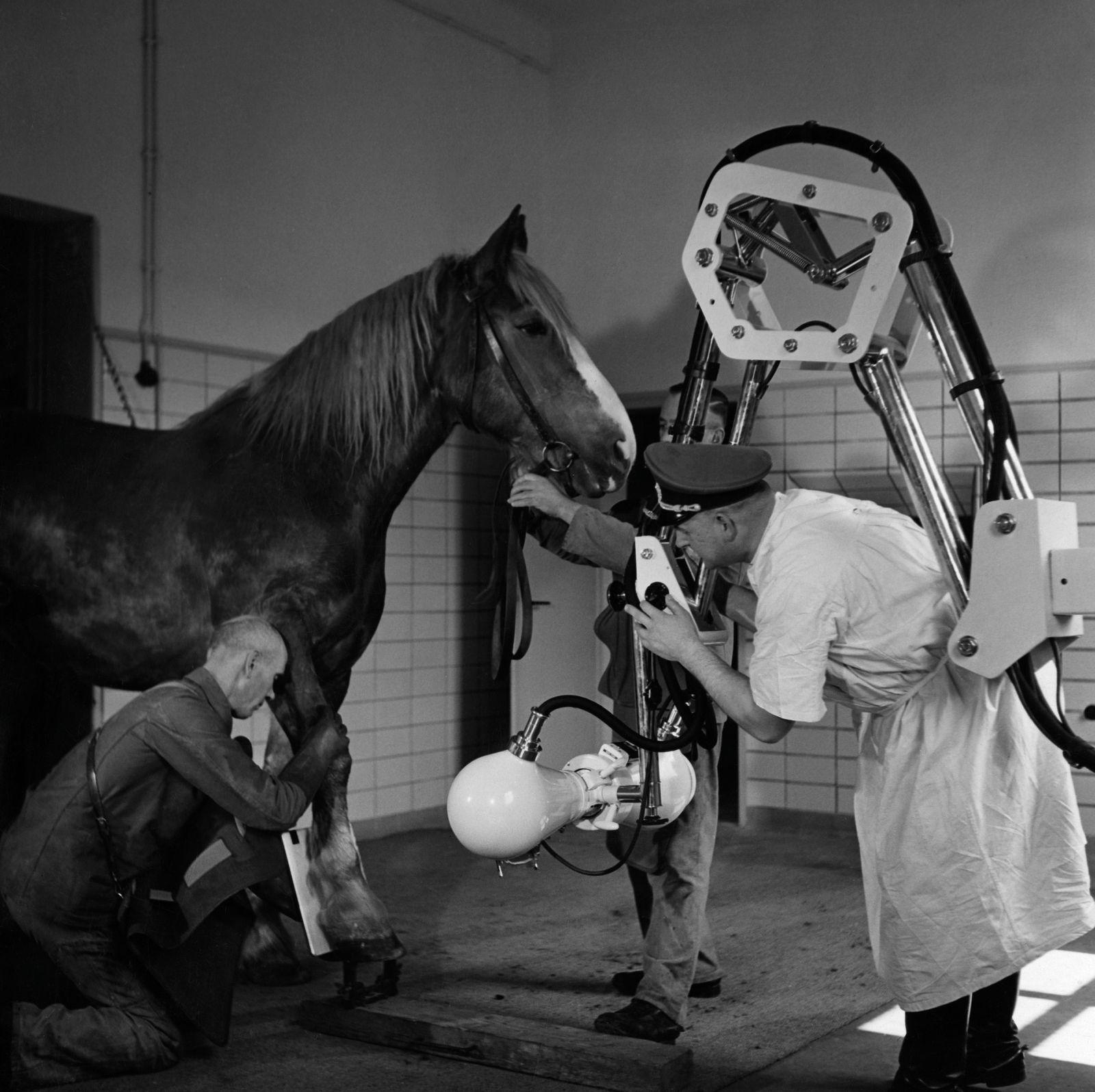 Serie 'In den Tierlazaretten der Wehrmacht': Roentgenaufnahme eines Hufes beim Pferd