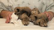 Zoo zieht fünf Geparden-Babys mit der Flasche groß