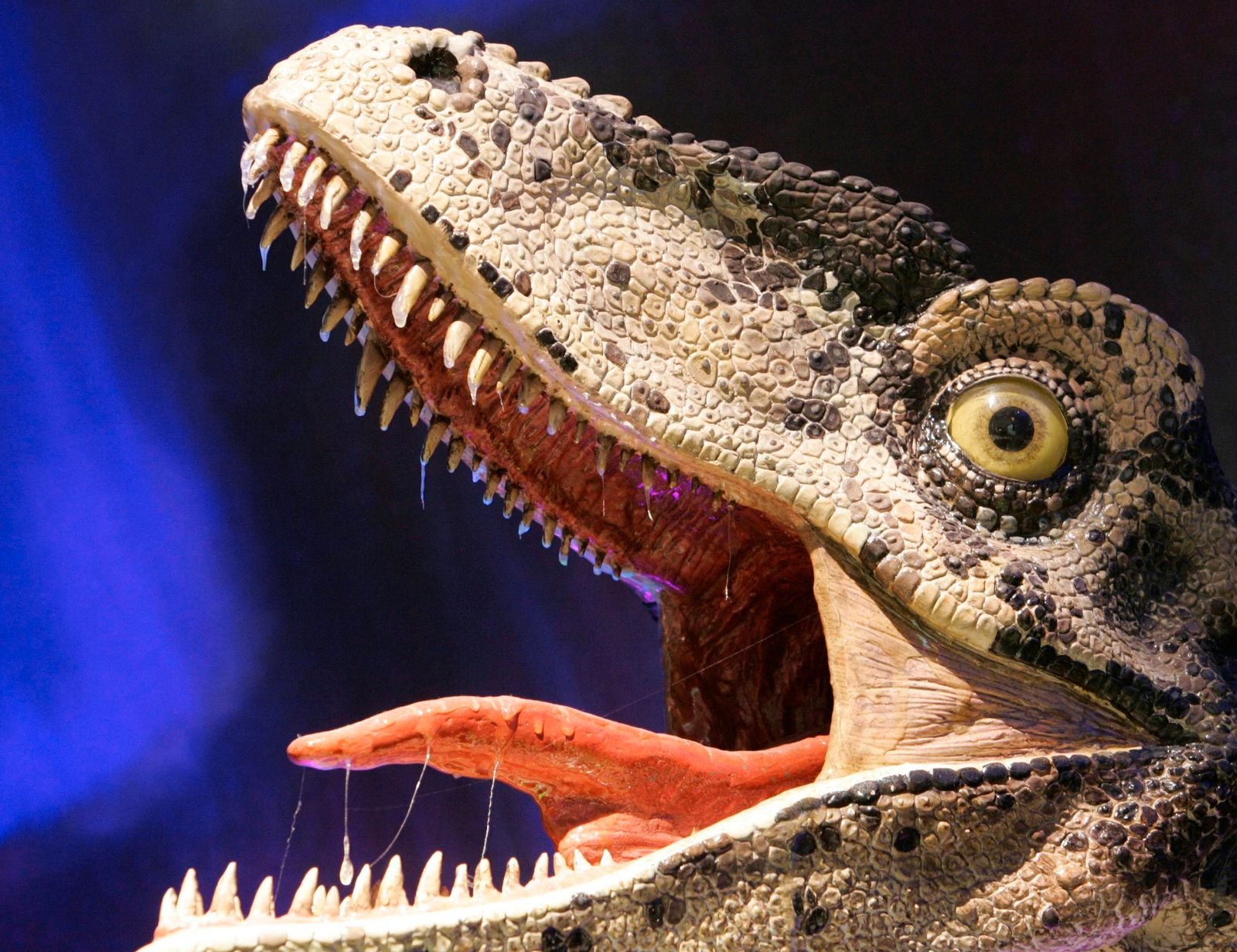 The reconstructed head of a Dromaeosaur-like Theropod dinosaur complete with saliva is seen after the opening of Australia's first permanent dinosaurs exhibition at the Australian Museum in Sydney