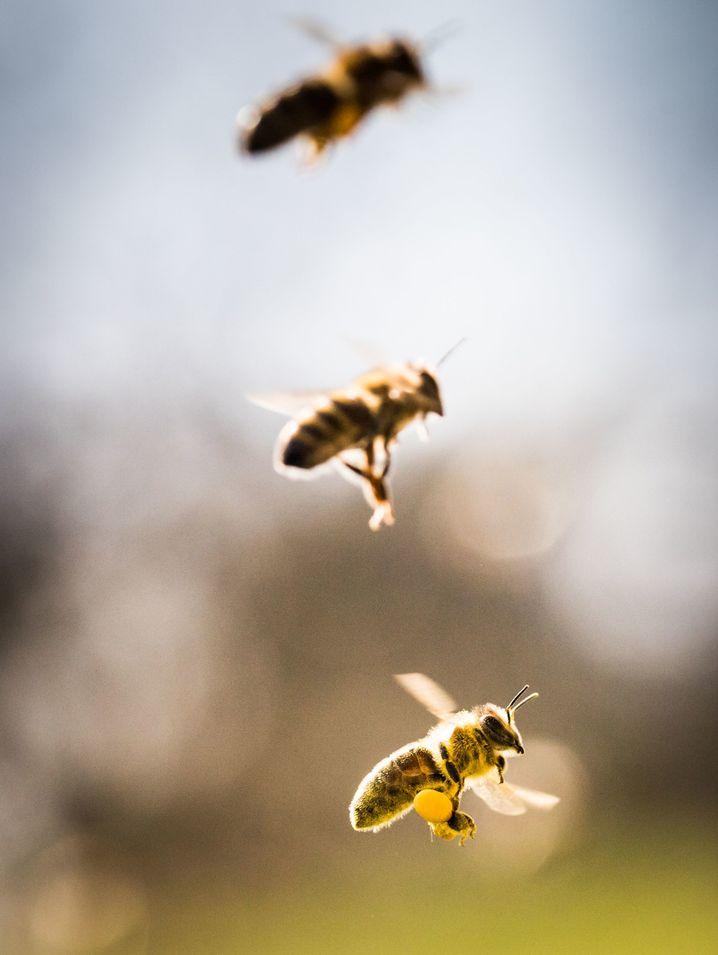 Mit Pollen beladene Biene (Archiv)