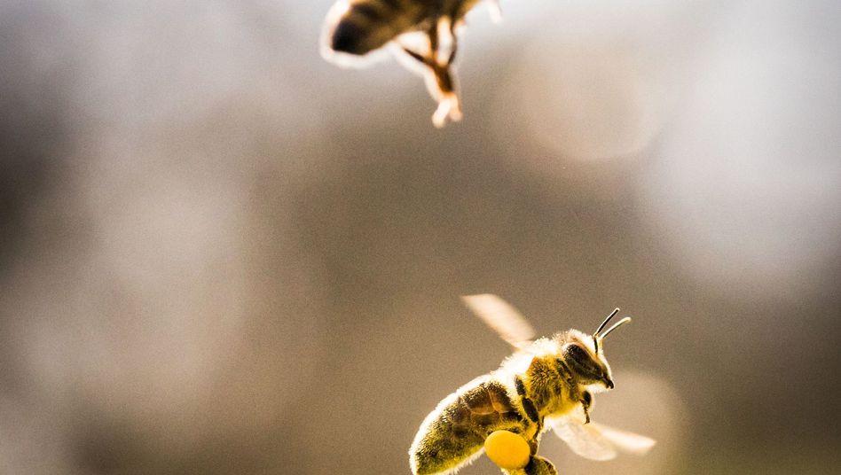 Mit Pollen beladene Biene