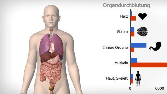 Muss sich der Körper extrem anstrengen, schickt er fast alles Blut zu den Muskeln. Die Durchblutung der inneren Organe sinkt.