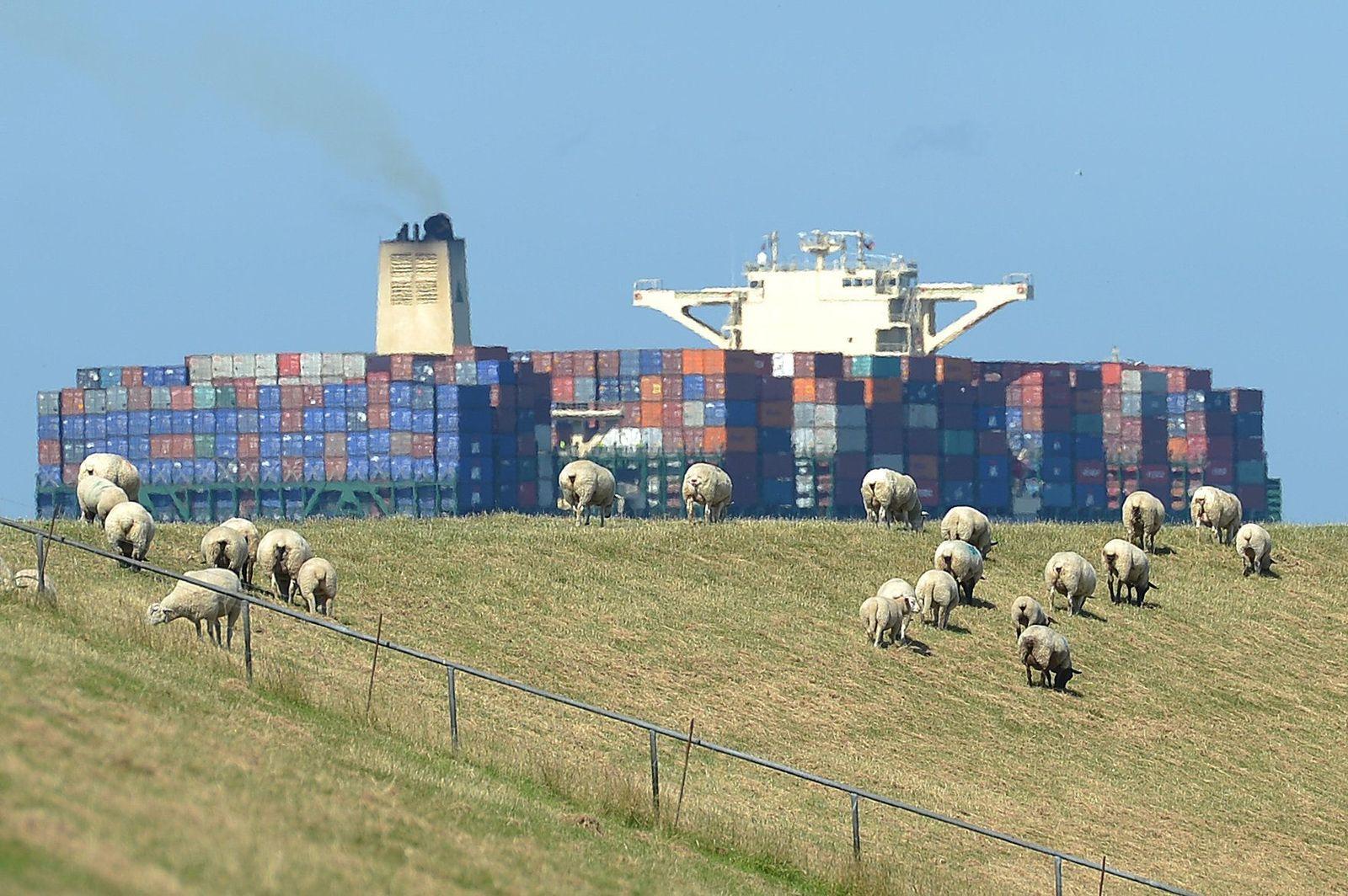 Schafe auf Elbdeich konjunktur