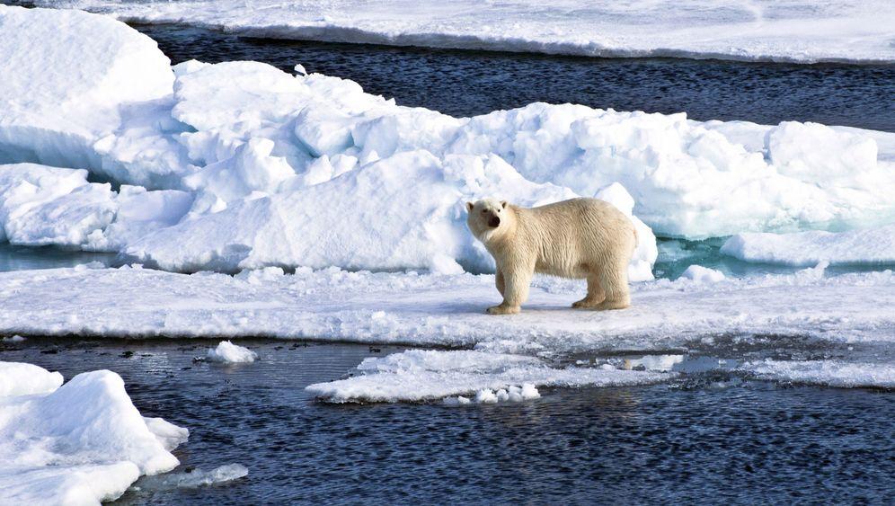 Bedrohte Räuber: Tauwetter schrumpft Eisbär-Lebensraum