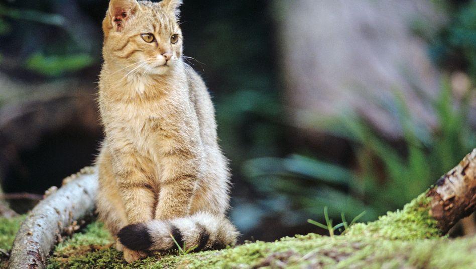 Wildkatzen stammen nicht von verwilderten Hauskatzen ab