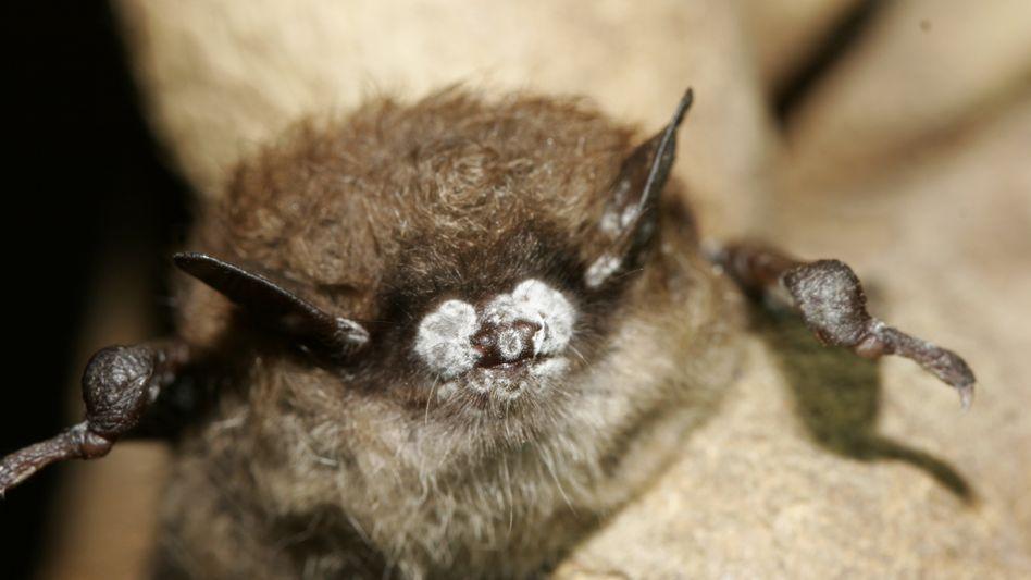 Infizierte Fledermaus: Eine Pilzkrankheit rafft Nordamerikas Fledermäuse dahin