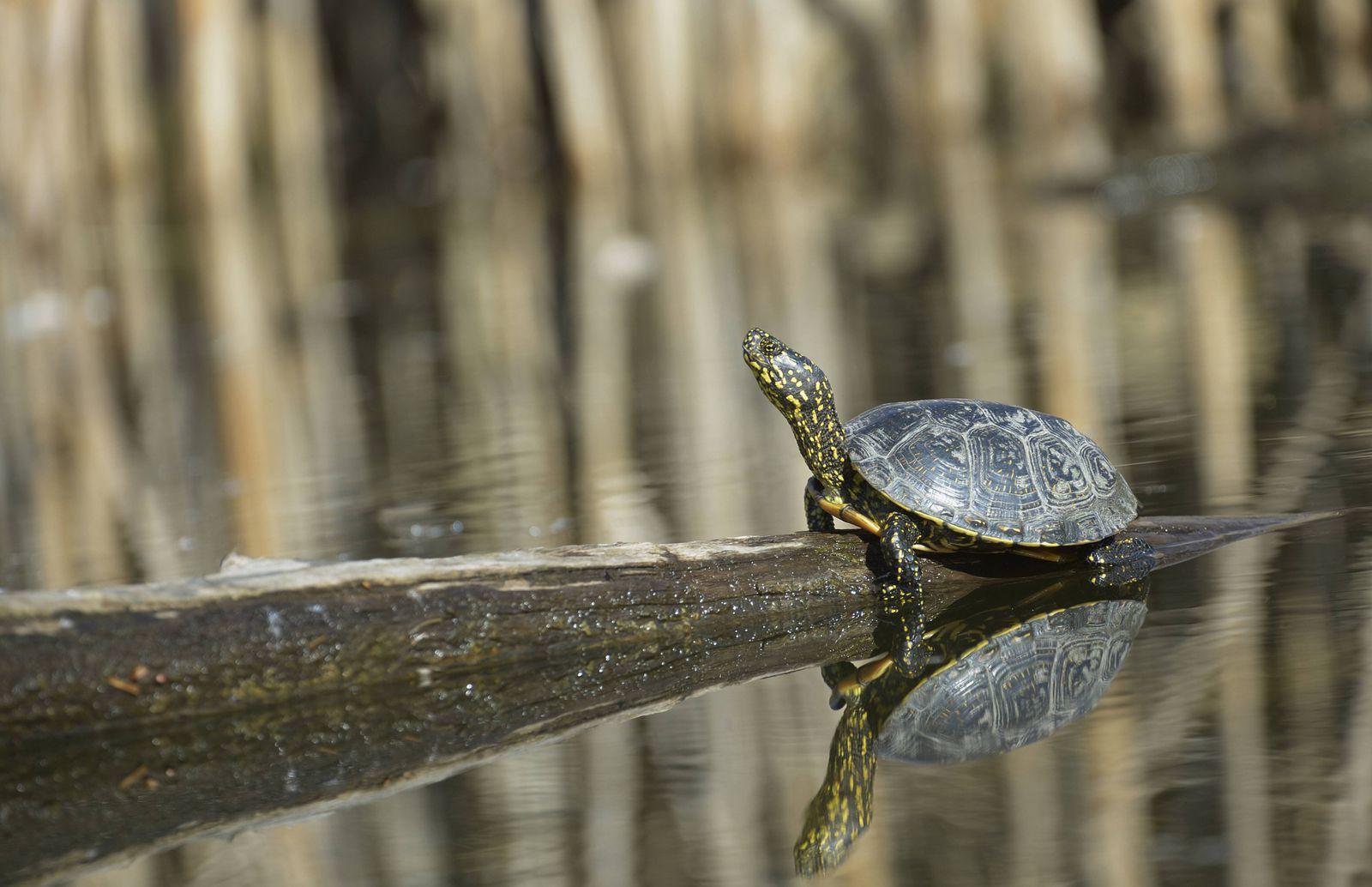 Bedrohte Tiere / Europäische Sumpfschildkröte