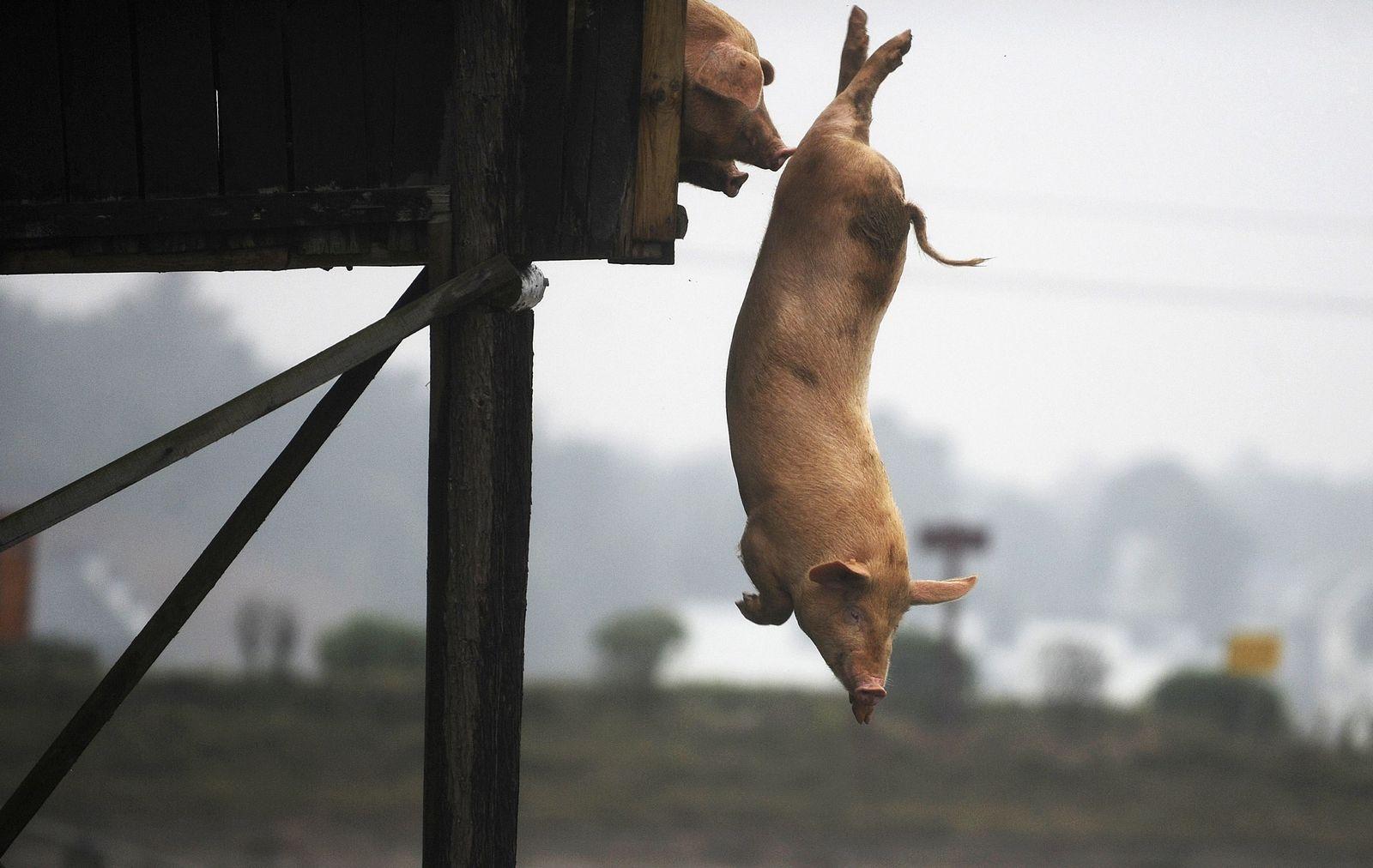 China/ Schweine springen ins Wasser