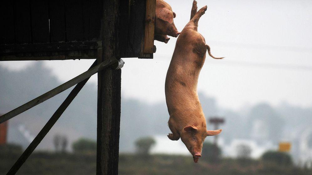 China: Flieg, Schweinchen, flieg!