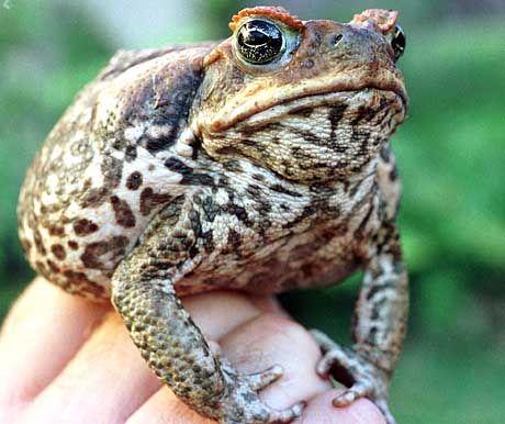 Australiens Alptraum: Die Jagd auf Agakröten gilt mittlerweile als Volkssport