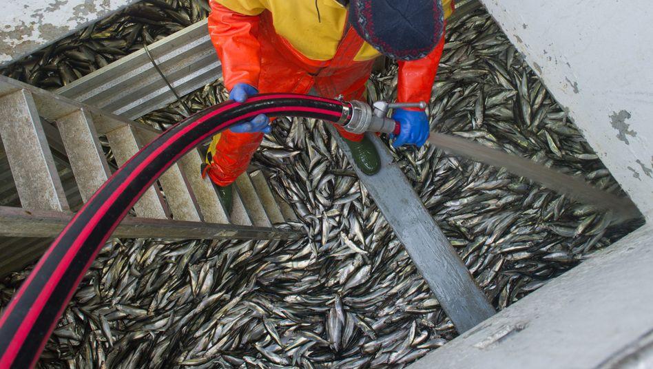Studie aus Kanada: Illegale Fischerei führt zu Milliardenverlusten