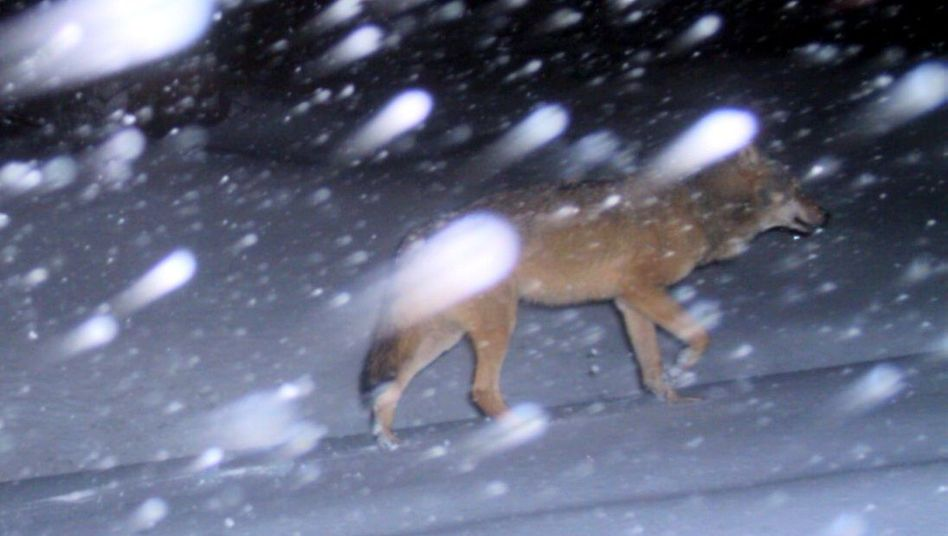"""An image taken from a """"photo trap"""" shows a wild wolf wantering in the Fichtel Mountains in the southern state of Bavaria."""