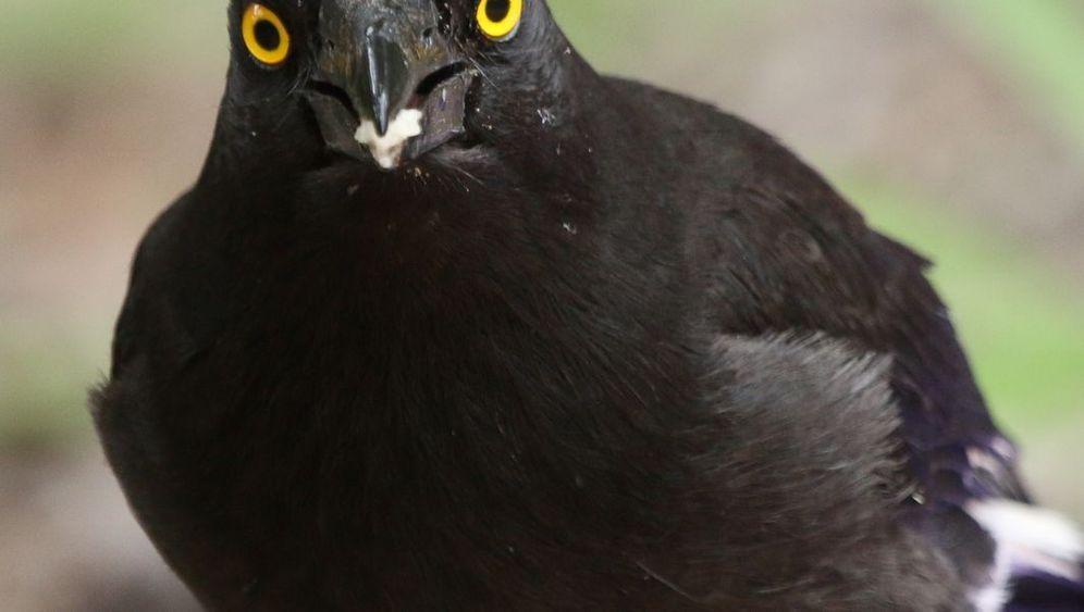 Mimikry unter Vögeln: Wer pfeift denn da?