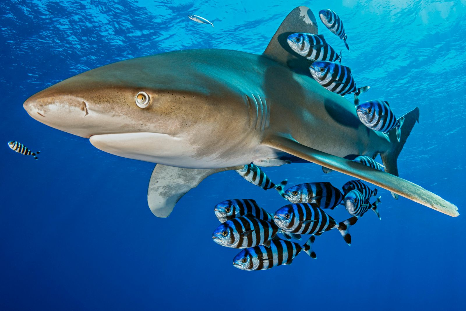 Oceanic whitetip shark (Carcharhinus longimanus) accompanied by a group of Pilotfish (Naucrates ductor). Rocky Island, E